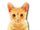 Red Tabby Cat for dog ecards