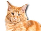 Red Tabby Maine Coon Cat for dog ecards