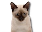Siamese Cat for dog ecards