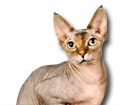 Sphynx Cat for dog ecards