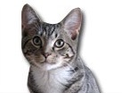 Grey Tabby Cat for dog ecards