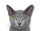 Russian Blue Cat for cat ecards