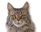 Tabby Maine Coon Cat for dog ecards