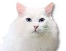 Turkish Angora Cat for dog ecards