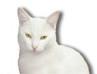 White Short Hair Cat for dog ecards