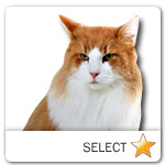 Orange and White Long Hair Cat for cat ecards