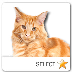 Red Tabby Maine Coon Cat for cat ecards