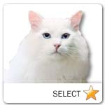 Turkish Angora Cat for cat ecards