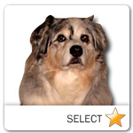 Australian Shepherd for dog ecards