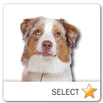 Red Merle Australian Shepherd for dog ecards