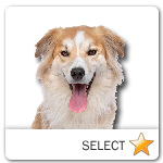 Border Collie Retriever Mix for dog ecards