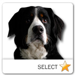 Bernese Mountain Dog for dog ecards