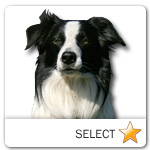 Border Collie for dog ecards