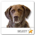 Chesapeake Bay Retriever for dog ecards