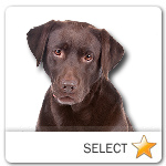 Chocolate Lab for dog ecards