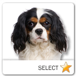 Tricolor Cavalier King Charles Spaniel for dog ecards
