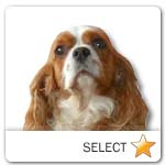 Blenheim Cavalier King Charles Spaniel for dog ecards