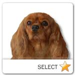 Ruby Cavalier King Charles Spaniel for dog ecards