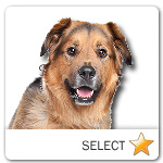 Dutch Shepherd Dogue de Bordeaux Mix for dog ecards
