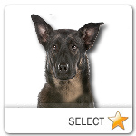 Dutch Shepherd Dog for dog ecards