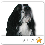 English Springer Spaniel for dog ecards