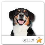 Entlebucher Mountain Dog for dog ecards