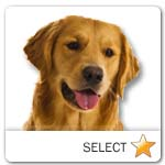 Medium Golden Retriever for dog ecards