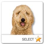 Goldendoodle for dog ecards