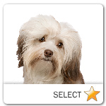 Havanese for dog ecards