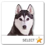 Siberian Husky for dog ecards