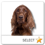 Irish Setter for dog ecards