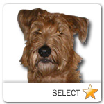Irish Terrier for dog ecards