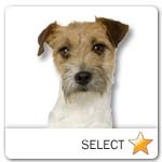 Rough Coated Jack Russell Terrier for dog ecards