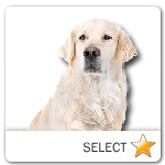 Light Blond Golden Retriever for dog ecards