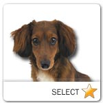 Miniature Long-Haired Dachshund for dog ecards