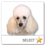 Miniature Poodle for dog ecards