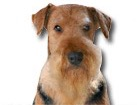 Airedale Terrier for dog ecards