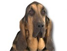Bloodhound for dog ecards