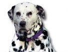Dalmatian for dog ecards