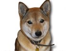 Shiba Inu for dog ecards
