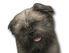 Affenpinscher for dog ecards