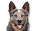 Australian Cattle Dog for dog ecards