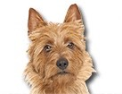 Australian Terrier for dog ecards