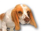 Basset Hound for dog ecards