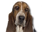 Tricolor Basset Hound for dog ecards