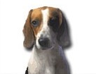 Tricolor Beagle for dog ecards