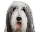 Bearded Collie for dog ecards