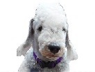Bedlington Terrier for dog ecards