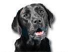 Black Labrador Retriever for dog ecards