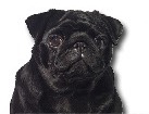 Black Pug for dog ecards